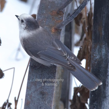 chickadee's and jays