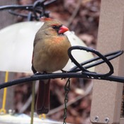 Lady Cardinal, Today