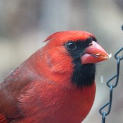 Red Cardinal Chased His Lady Away