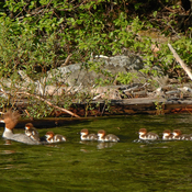 Common Merganser Family St.Mary's Lake Neal Weisenberg