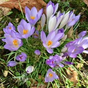 Early Spring Crocus Flowers