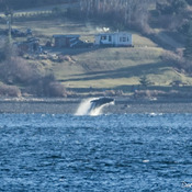 Humpback breaching in front of Hyde Creek