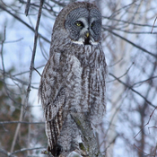 Great Grey Owl in Ottawa