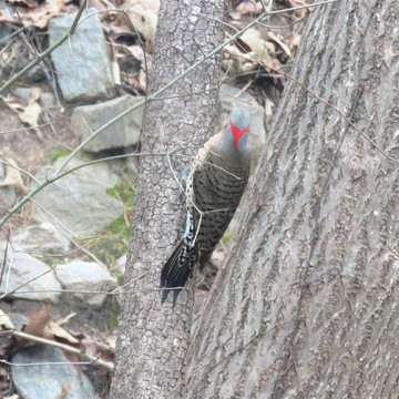 Today's Flicker - Northern Flicker