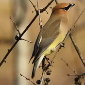 Cedar Waxwing beauties