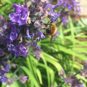 Little bee enjoying the catmint in my garden last summer.