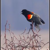 They're back! Red winged blackbirds