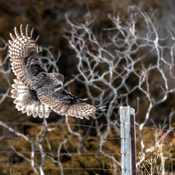 Great Grey Owl On Final Approach
