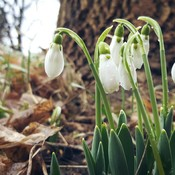 snowdrops in lieu of snow