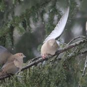 Rainy Day Doves !