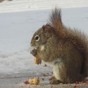 Squirrel enjoying treat on a cold day