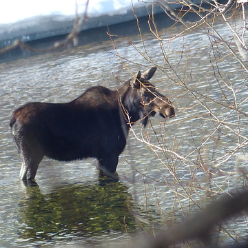 Moose in the granby river