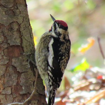 Perhaps a Yellow Bellied Sapsucker