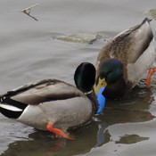 Plastic stuck on poor duck!