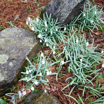 SNOWDROPS, SPRING'S FIRST SIGN, Nanaimo, Feb. 25, 2017