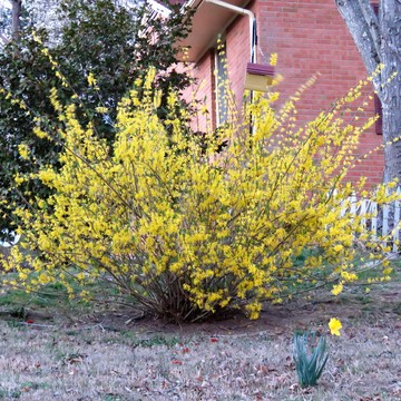 Forsythia is in Full Bloom
