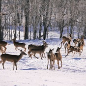 Gathering of White-tails