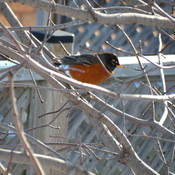 Robins in Woodstock. Ontario