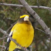 Evening grosbeak without the black pigment