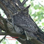 Great grey owls and Great horned owl.
