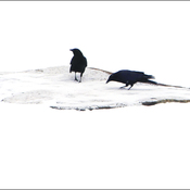 Two crows, Elliot Lake.