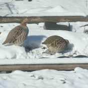 Grey Partridge in my backyard