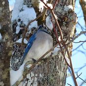 Blue Jay in Evergreen Tree.