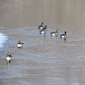 Geese on the Mississippi River