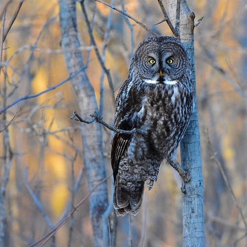 Great Gray Owl in early morning light