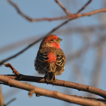 Starry eyed Male House Finch