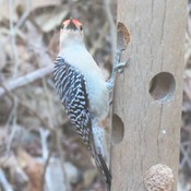 Hadsome Red-Bellied Woodpecker
