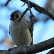 Bird Sitting Tufted Titmouse Pretty Blooms