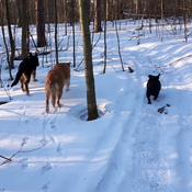 Great morning fir a walk, with Ruger, Bella and Star