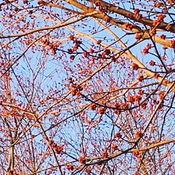 Budding trees in February