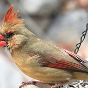WOW! What a Lady! The Cardinal.