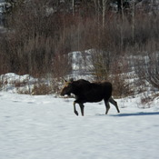 Moose on our meadow