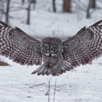 Great Grey coming in for a landing