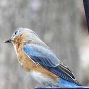 Bluebird at the Feeders