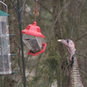 Nine Big Birds at the Feeder Today !