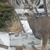deer with full cheeks