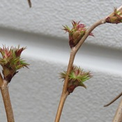 Feb 28, bushes have buds opening !
