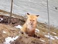 What a fox!!! - Winterburn School, AB