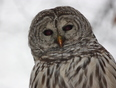 Barred Owl caught snake - Kingston, ON