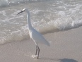 Egret enjoying the surf