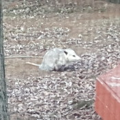 Possum sighted in our backyard. QEW / Trafalgar area.
