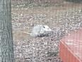 Possum sighted in our  backyard.  QEW  / Trafalgar area.