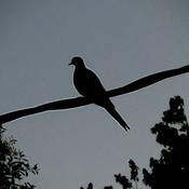 Evening Dove at Twilight!