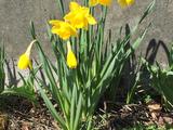 Daffodils - Saanich, BC, CA