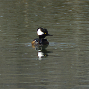 Hooded Merganser on Laurel Creek