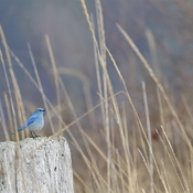 The Bluebird of happiness!
